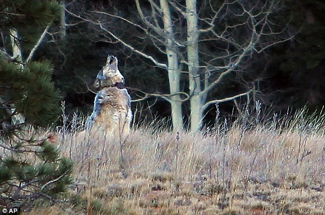 Grey Wolf Grand Canyon, Grey Wolf Grand Canyon photo, First Grey Wolf Sighting at Grand Canyon Since 1940, Grey Wolf grand canyon, Grey Wolf arizona november 2014, A gray wolf was recently photographed on the north rim of the Grand Canyon in Arizona, grey wolf grand canyon photo, grey wolf grand canyon photo, grey wolf since 1940 in grand canyon photo
