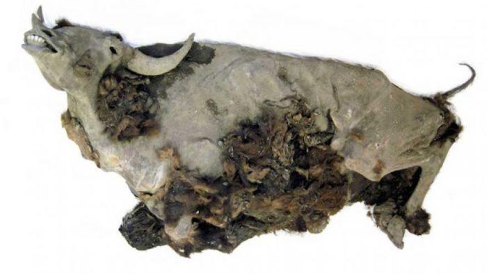bison mummy, bison mummy siberia, bison mummy Russia, Yukagir bison mummy, Yukagir bison mummy mystery, Yukagir bison mummy secrets, The almost perfectly preserved Yukagir bison mummy was found on the shore of a lake in northern Siberia. Its remains even contain intact organs. Photo: Dr. Gennady Boeskorov, autopsy bison mummy, origin of Yukagir bison mummy, Yukagir bison mummy mystery, mysterious Yukagir bison mummy