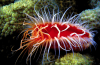 electric flame scallop, christmas of the sea, electric flame scallop - christmas of the sea, electric flame scallop video, christmas of the sea video, electric flame scallop photo, christmas of the sea photo, Video: Glowing lips of electric flame scallop, Video: flashing lips of electric flame scallop
