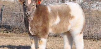 fluffy cow, funny hairy cow, funny hairy animal, hairy animal, fluffy animals, animal with strange hairs, photo of funny and hairy animals, hairy animaly strange cows, strange hairy and funny animals