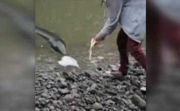 monster eel, monster eel Manawatu River NZ, monster eel NZ fake, monster eel NZ video, monster eel, human-sized eel NZ river video, video human-sized eel NZ river november 2014