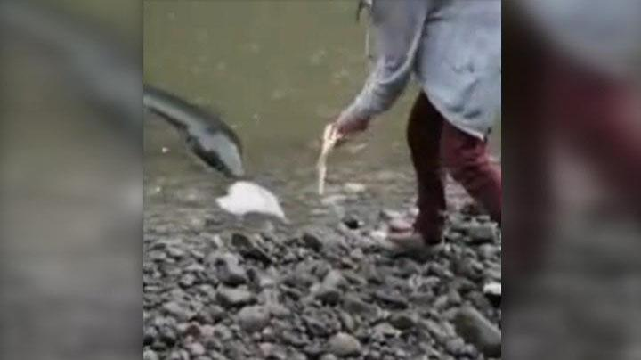 monster eel, monster eel Manawatu River NZ, monster eel NZ fake, monster eel NZ video, monster eel, human-sized eel NZ river video, video human-sized eel NZ river november 2014