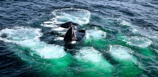 humpback whale, humpback whale video, humpback whale swallows fish, humpback whale swallows school of fish, school of fish eaten by humpback whale