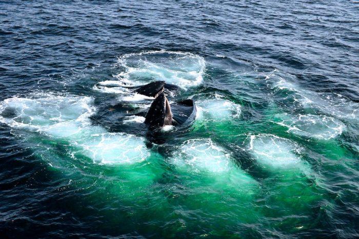 humpback whale, humpback whale video, humpback whale swallows fish, humpback whale swallows school of fish, school of fish eaten by humpback whale, whale, strange animal behavior, strange behavior whale, whale feeding, video whale