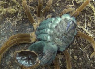molting tarantula, molting tarantula video, tarantula molting, tarantula molting video, an amazing video of a tarantula molting. The process of molting tarantula recorded in a youtube video