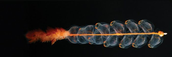siphonophore, siphonophore zooids, zooids, Siphonophore: Deep-sea superorganism, what are siphonophore, siphonophore deep-sea, strange siphonophore, weird siphonophore
