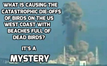 radioactive water responsible for mass die-off along west coast, bird west coast mass die-off linked to daiichi catastrophe, mysterious mass die-off birds west coast, thousands of birds wash up on west coast, west coast bird mass die-off, bird mass die-off west coast, Cassin auklets mass die-off west coast