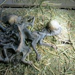 chupacabra, chile january 2015, what are the mysterious creatures found on farm in Chile, alien-like monster found on farm in chile january 2015, mystery monster found in chile january 2015, mystery creatures found in chile, alien-like monster found in chile, chile montruous creatures january 2015,
