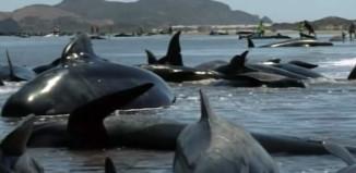 pilot whale stranding new zealand february 2015, pilot whales nz 2015, pilot whales stranding new zealand 2015, pilot whales stranding new zealand, mass stranding pilot whales new zealand 2015