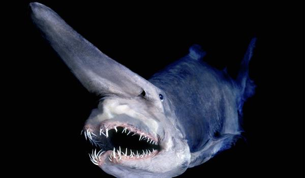 Goblin Shark, Goblin Shark strange, Goblin Shark deep ocean