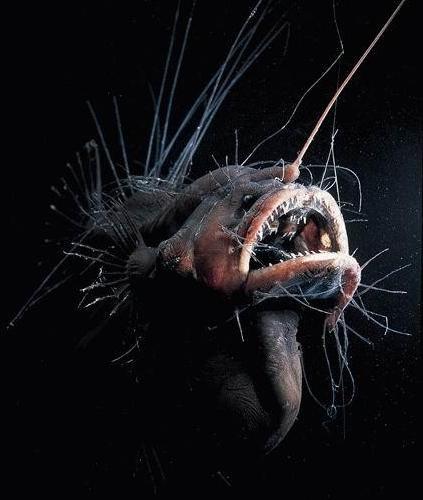 Fanfin Seadevil, Fanfin Seadevil deep ocean