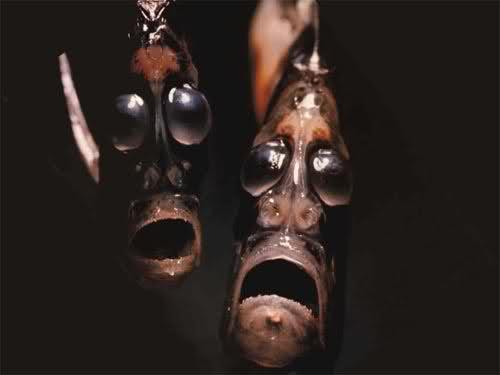 Hatchetfish, Hatchetfish deep ocean