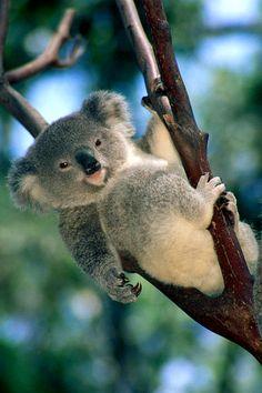 koalas, 700 koala killed by authotities in Australia, koalas mass die-off, kolala bear photo, koala mass die-off australia march 2015, 700 koalas killed by authorities in Australia because of overpopulation, Close to 700 koalas killed by authorities in Australia because of overpopulation, koala kill australia march 2015