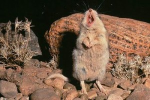 Grasshopper Mouse howl, Grasshopper Mouse, northern Grasshopper Mouse, Grasshopper Mouse howls like a wolf, the howling mouse