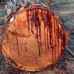 bloodwood tree, This Tree Bleeds When You Cut Into It, bleeding tree, bleeding tree video, Pterocarpus angolensis, bloodwood tree Pterocarpus angolensis, A Tree That Bleeds When You Cut It