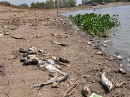 fish mass die-off vietnam lake, dead fish vietnam, fish mass die-off vietnam, mystery fish kill vietnam, 50 tons of fish dead in lake in vietnam