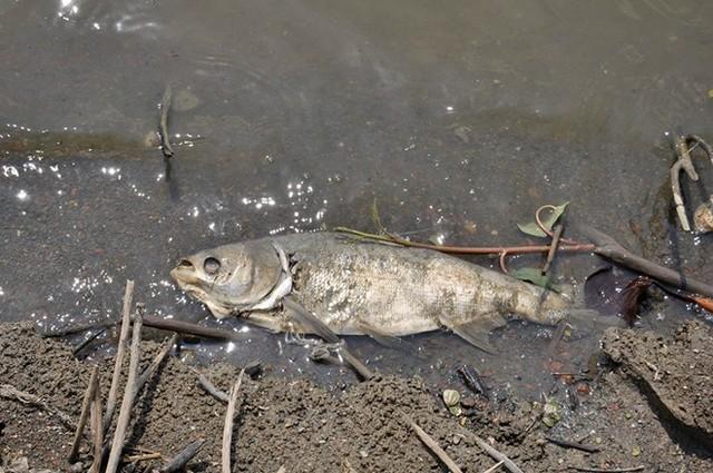 fish mass die-off vietnam lake, dead fish vietnam, fish mass die-off vietnam, mystery fish kill vietnam, 50 tons of fish dead in lake in vietnam