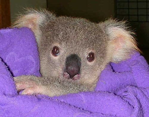 koalas, koalas mass die-off, kolala bear photo, koala mass die-off australia march 2015, 700 koalas killed by authorities in Australia because of overpopulation, Close to 700 koalas killed by authorities in Australia because of overpopulation, koala kill australia march 2015