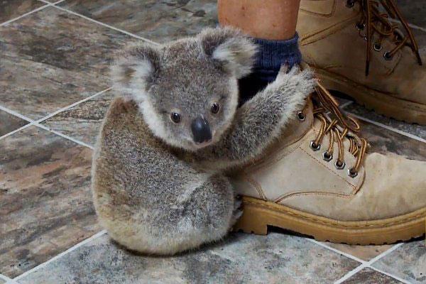 koalas, koalas mass die-off, kolala bear photo, koala mass die-off australia march 2015, 700 koalas killed by authorities in Australia because of overpopulation, Close to 700 koalas killed by authorities in Australia because of overpopulation, koala kill australia march 2015