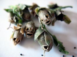 snapdragon, dragon flower, snapdragon skulls, dragon flower skulls, strange flowers snapdragon skulls, strange dragon flower skulls, snapdragon dragon flower