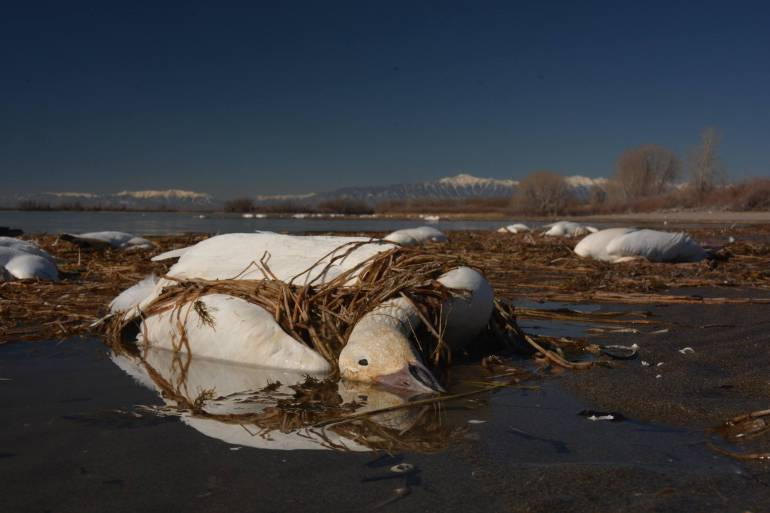 snow geese fall from sky idaho, thousands of snow geese fall from sky idaho, snow geese die-off idaho, idaho snow geese mass die-off avian ebola, avian cholera kills thousands of snow geese in Idaho, avian cholera snow geese idaho
