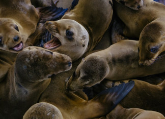 starving sea lions california, starving sea lions california march 2015, sea lions california, hundreds of sea lions starving in California march 2015