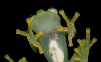 The new glass frog from Costa Rica is so translucent that its organs are visible from below!, New glass frog Costa Rica dianae, dianae new glass frog, Hyalinobatrachium dianae new glass frog costa rica, costa rica new glass frog discovered photo, picture dianae new glass frog costa rica
