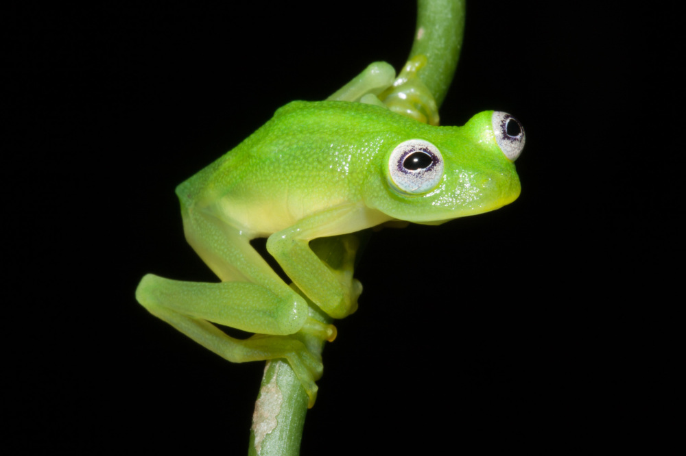 New glass frog Costa Rica dianae, New glass frog Hyalinobatrachium dianae, dianae new glass frog, Hyalinobatrachium dianae new glass frog costa rica, costa rica new glass frog discovered photo, picture dianae new glass frog costa rica