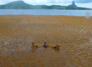 Wandering algae Fernando de Noronha, algae invade Noronha, algae invade Noronha photo, algae invade Noronha brazil, algae invade Noronha april 2015