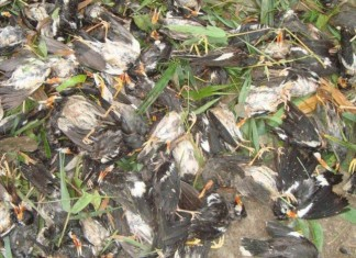 bangladesh storm, The nor'wester bangladesh storm, The nor'wester bangladesh hailstorm april 2015, bangladesh hailstorm, apocalyptic video bengladesh storm, birds killed by hailstorm banglandesh