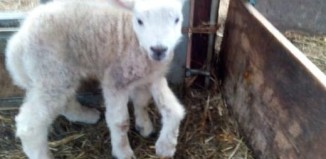 5-legged lamb, video, 5-legged lamb photo, 5-legged lamb wales, 5-legged lamb wales video, 5-legged lamb wales photo, 5-legged lamb born in Wales