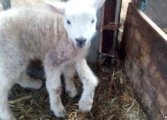 5-legged lamb, video, 5-legged lamb photo, 5-legged lamb wales, 5-legged lamb wales video, 5-legged lamb wales photo, 5-legged lamb born in Wales
