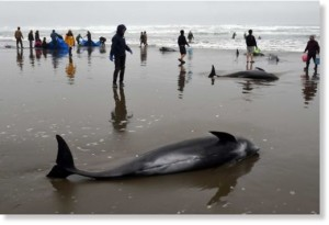whales stranded Hokato japan, dolphin melon-headed beached Hokato japan, 150 whales stranded in Japan, whale mass die-off japan april 2015, dolphin mass die-off japan april 2015, 150 whales stranded on beach in Japan april 2015