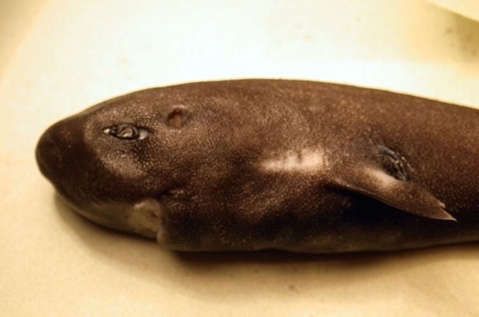 pocket shark, pocket shark mississippi, pocket shark picture, rarest shark, pocket shark rarest shark, pocket shark discovered, second pocket shark ever discovered by NOAA