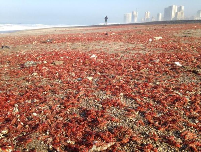 Millions of prawns beach on the shores of Playa Brava in Iquique, prawn mass die-off iquique, prawn mass die-off iquique chile, prawn mass die-off iquique april 2015, prawn mass die-off iquique chile april 2015