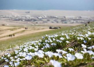 Flowering desert, desierto florido, Flowering desert atacama 2015, desierto florido antofagasta atacama 2015 photo, atacama Flowering desert - desierto florido antofagasta 2015
