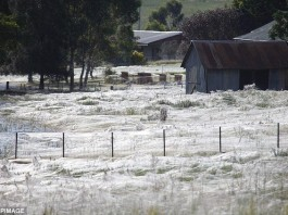 angel hair, angel hair spider phenomenon, angel hair spider australia may 2015, angel hair spider may 2015, spider cover fiels with silk australia may 2015, angel hair spider phenomenon australia may 2015