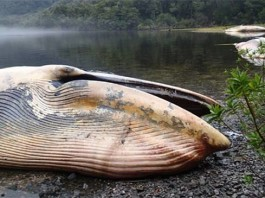 dead whales gulf of penas, dead whales gulf of penas chile, mass stranding may 7 2015, whale mass die-off may 7 2015, giant whales strand in chile may 7 2015