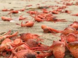 million lobsters mass die-off tijuana Baja California may 25 2015, lobster mass die-off may 2015 bc mexico, bc mexico mass die-off lobster, lobster mass die-off BC mexico, baby lobster mass die-off may 2015 baja california