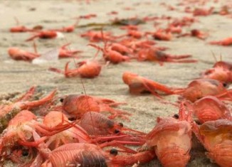 million lobsters mass die-off tijuana Baja California may 25 2015, lobster mass die-off may 2015 bc mexico, bc mexico mass die-off lobster, lobster mass die-off BC mexico, baby lobster mass die-off may 2015 baja california