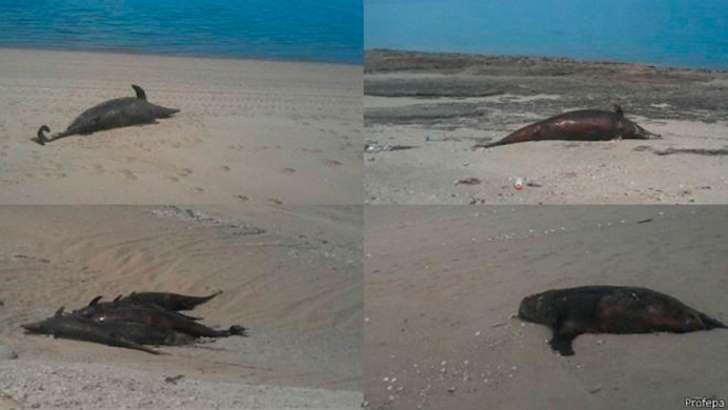 55 dolphins dead mexico june 2015, 55 dolphins and sea lions dead mexico june 2015, dolphin mass die-off mexico june 2015, mexico dolphin mass die-off june 2015, dolphin and sea lions found dead on beach in baja california mexico
