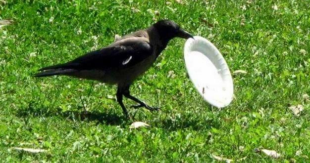 crow garbage, crow cleans garbage, crow throws garbage, crow garbage picture, crow clean its table, crow garbage story