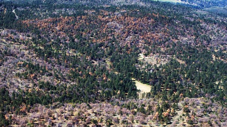 dying tree california drought, drought kills millions of trees in california, california drought kills millions of trees, drought kills millions of trees in california