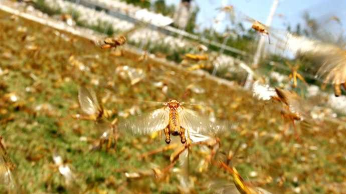 locust swarm russia, locust swarm russia june 2015, apocalyptic locust swarm russia june 2015, insect plague russia june 2015, biblical locust plague russia, Biblical locust plague blots out the sun in Russia