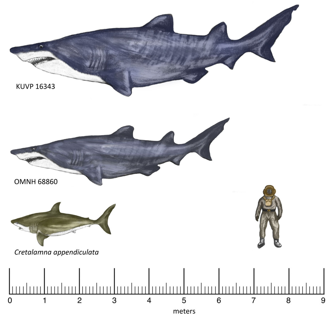 the earliest fossil records of sharks found However as more fossil records are discovered this proves the surprising evolution of shark cartilage scientists found there were several advantages of.