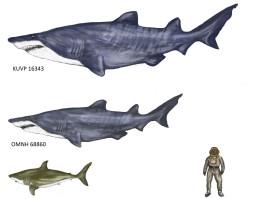 monster shark fossil june 2015, giant shark fossil discovered in june 2015, giant shark, largest shark fossil discovered, largest sharks around the world, shark dinosaur fossils, largest shark dinosaur fossils, ancient monster deep ocean, Reconstruction of the giant sharks that once swam in our deep oceans