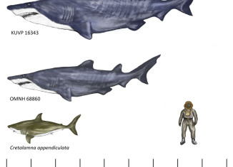 monster shark fossil june 2015, giant shark fossil discovered in june 2015, giant shark, largest shark fossil discovered, largest sharks around the world, shark dinosaur fossils, largest shark dinosaur fossils, ancient monster deep ocean, Reconstruction of the giant sharks that once swam in our deep oceans
