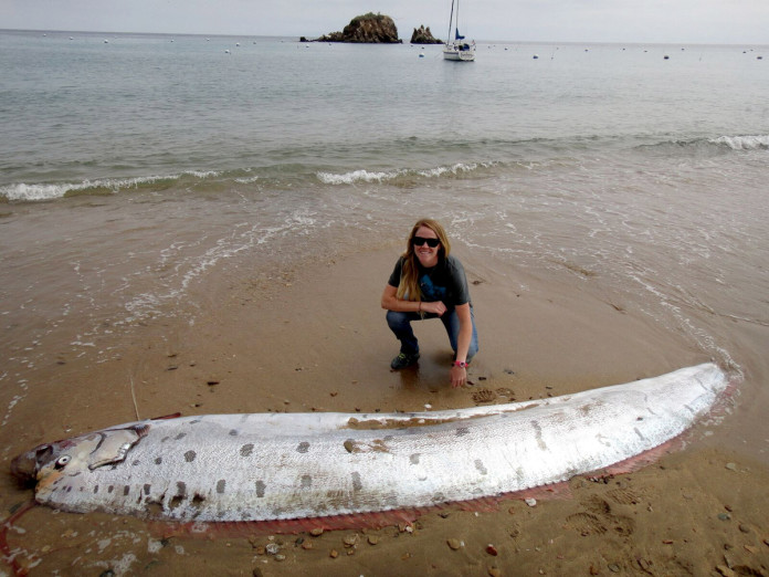A rare 17-foot orafish sea serpent was discovered Monday on a beach on the western end of Santa Catalina Island, oarfish santa catalina island june 2015, oarfish santa catalina island june 1 2015, oarfish catalina island june 1 2015, oarfish earthquake june 2015, giant oarfish found on santa catalina island june 2015, giant oarfish catalina island june 2015