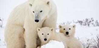 save the arctic, save the arctic greenpeace, greenpeace save the arctic, shell to drill in arctic, shell drill arctic, shell oil and gas arctic june 2015, polar bear save the arctic