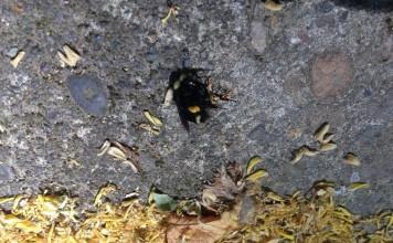 portland bee die-off, oregon portland bee die-off, oregon bee die-offfifth bee mass die-off in portland in a week, bee mass kill portland oregon june 2015